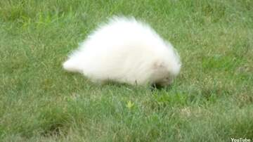 Coast to Coast AM with George Noory - Video: Albino Porcupine Spotted in Maine