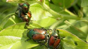 Local News - Japanese Beetles stripping trees in Nebraska, Iowa, Illinois MAP INFO