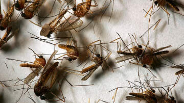 Local News - West Nile Virus Found in Mosquitos in Long Beach