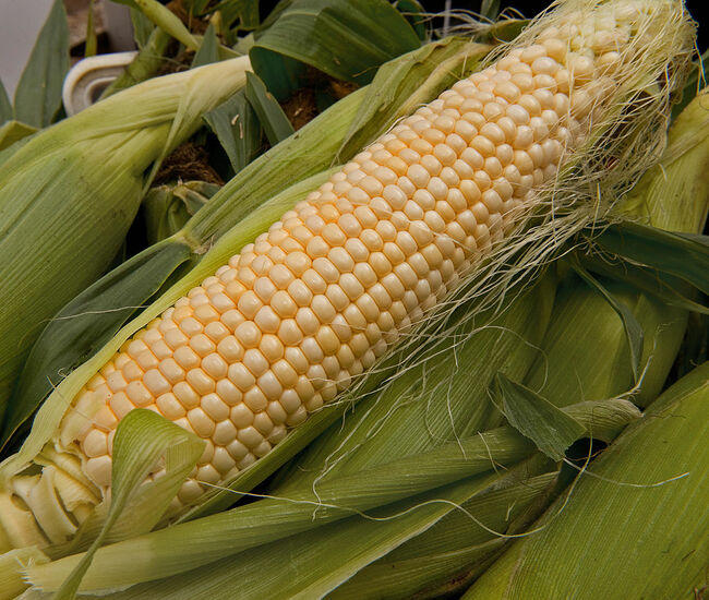 A ear of peeled back corn is seen as loc
