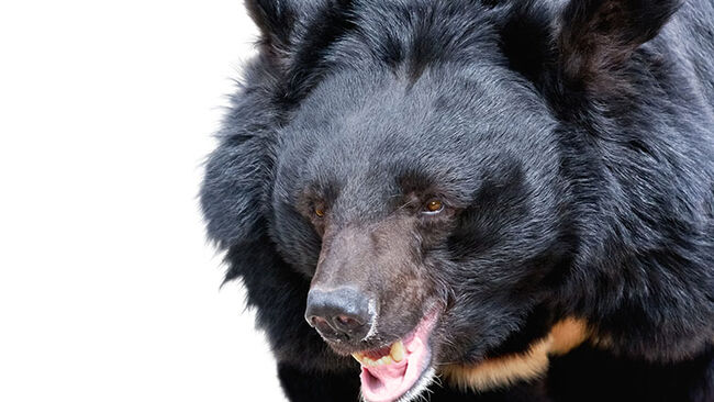 Himalayan bear isolated on white background