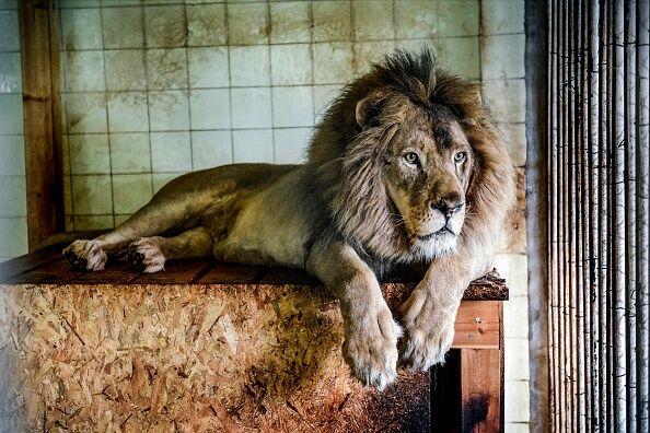 ALBANIA-ANIMAL-ZOO-LION