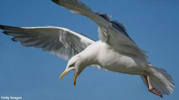 Coast to Coast AM with George Noory - Seagull Snatches Dog in England