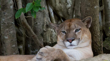 Doc - Mountain Lion Spotted in Loveland