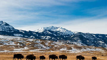 Shawn Carey - Buffalo Tosses Girl At Yellowstone