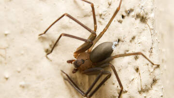Angie Ward - SPIDERS! Georgia Family Home Infested with Brown Recluse Spiders