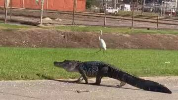 Patrick Sanders - Huge Alligator Seen Casually Strolling Through Port Neches, Tx.