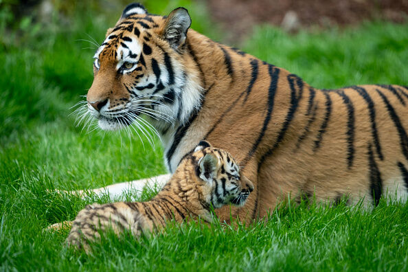 GERMANY-ANIMALS-ZOO-TIGER