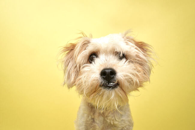 Rescue Animal - Poodle/Terrier mix