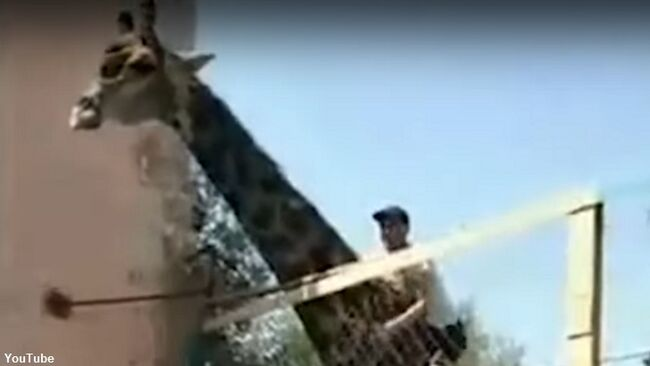 Watch: Foolhardy Zoo Patron Climbs Over Fence and Rides