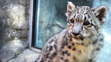 Amy Malone - New Snow Leopard Cub Debuts At Akron Zoo