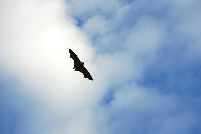 Grey-Headed Flying Foxes To Be Relocated From Royal Botanic Gardens