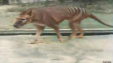 Coast to Coast AM with George Noory - Video: Rare Footage of Last Known Tasmanian Tiger Gets Colorized