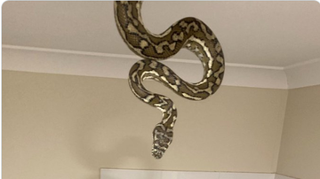 BC - Massive Python Slithers Out Of Ceiling Inside Family's Home