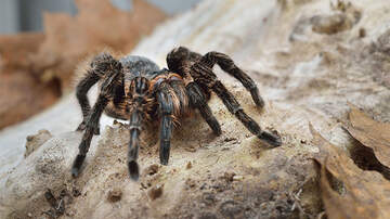 Weird News - Thousands Of Tarantulas Begin Mass Migration Through Colorado To Find Mates