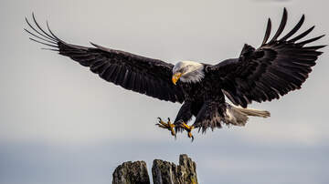 Zach Dillon - Bald Eagle Thought To Be Hurt... Is NOT Hurt, Rather the opposite lol