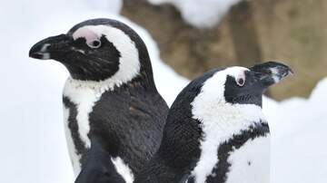 Mike Trivisonno - Gay Penguins Hope To Become Parents