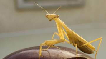 Wendy Wild - Giant Praying Mantis Terrifies 6 Train Riders In NYC