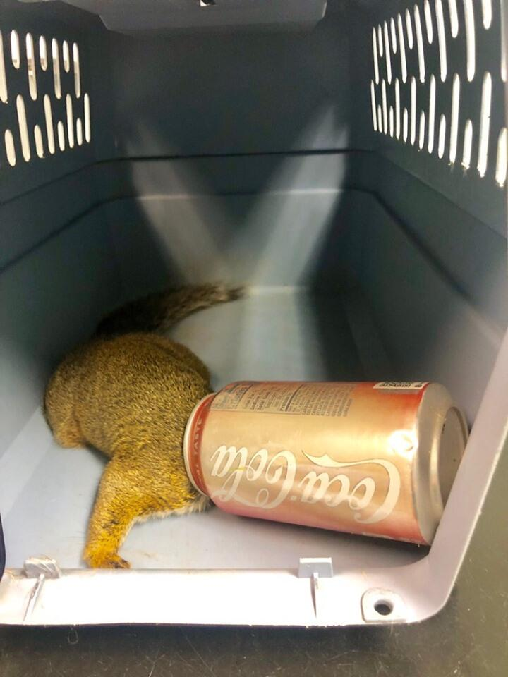 Squirrel with Coke can stuck on head rescued by Dane County Humane Society