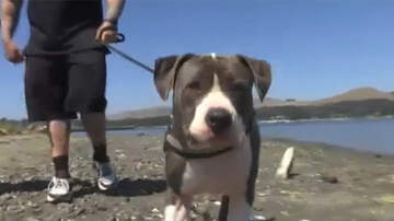 National News - Pitbull Fights Off Six-Foot Shark To Save Owner
