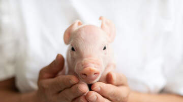 Todd Matthews - Iowa Pork Queen delivers baby piglet