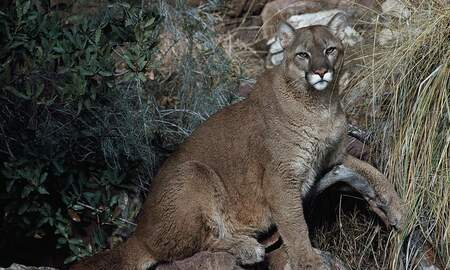 National News - Colorado 8-Year-Old Mauled by Mountain Lion While Playing Outside