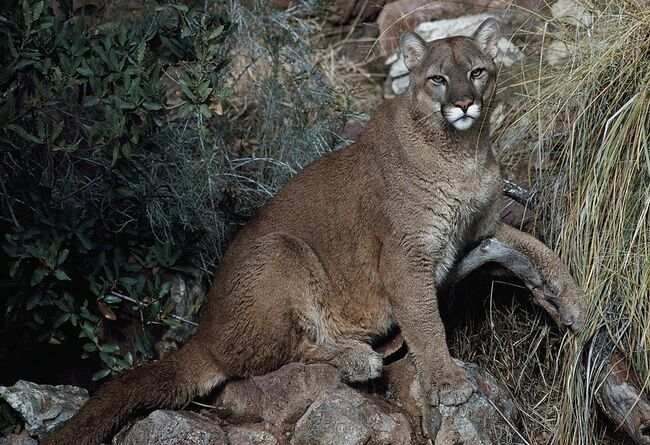 Cougar, Puma or Mountain Lion (Puma concolor)