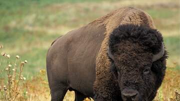 Kimberly and Beck - Yellowstone Bison Stampede Towards Family