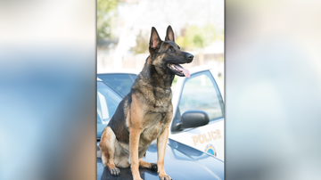 Local News - Long Beach Police K-9 Dies After Being Left in Hot Car
