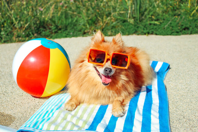 Dog Wearing Sunglasses, Pomeranian, Dog On Vacation, Happy Dog, Funny Dog, Dog Summer (Getty Images)