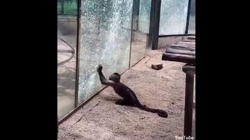 Coast to Coast AM with George Noory - Watch: Monkey Uses Rock to Smash Glass Wall at Chinese Zoo