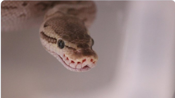 BC - Man Terrified Of Going To The Bathroom After Finding Python In Toilet