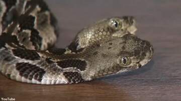 Coast to Coast AM with George Noory - Video: Two-Headed Rattlesnake Found