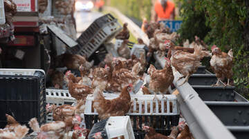 Chris Marino - Truck Carrying Chickens Crashes …And Chickens Were EVERYWHERE