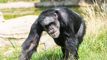 Weird News - Chimpanzee On The Loose In Texas Is Harassing People, Trying To Take Cats