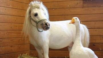 Beth and Friends - A Mini-Horse & Goose Are Up For Adoption Together & It's So Darn Cute