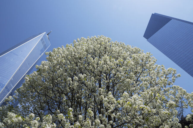 The Survivor Tree blossoms in full bloom at 911
