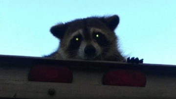 National News - Raccoon in Florida Goes on Wild 16-Mile Ride on Top of Wonder Bread Truck