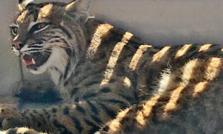 Weird News - Colorado Woman Put Injured Bobcat In Her SUV Next To Child In Safety Seat