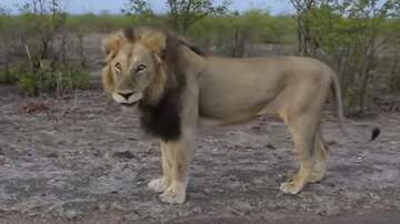 Suzette - Guy Teases Lion, Then Lion Makes Guy Scream In Fear