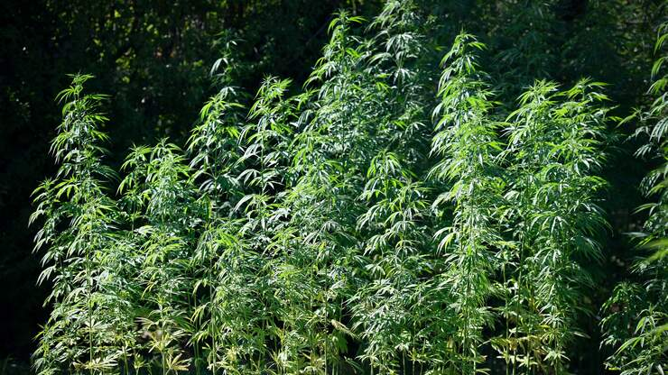 Hemp growers looking to establish a check-off program