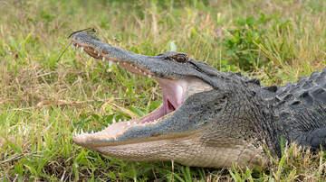 Florida News - Hunter Bitten By Alligator In Florida Wildlife Area