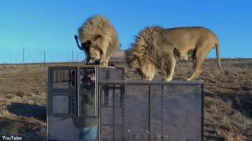 Coast to Coast AM with George Noory - Watch: Conservation Group Creates 'Lion Cage' for Big Cat Observation