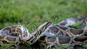 Meag Taylor - Now Hiring: Python Hunters In Florida
