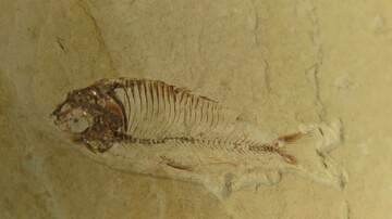 Joe Rossetti - Love Oldies? It's National Fossil Day