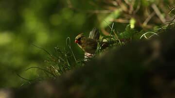 Florida News - Port Saint Lucie Woman Takes Pictures of Rare Yellow Cardinal
