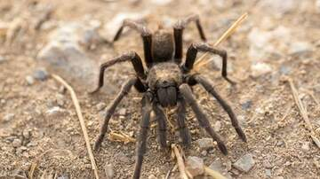 Suzette - Thousands Of Tarantulas Are Emerging From Underground In San Francisco