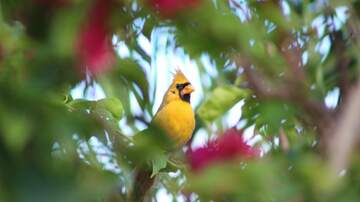 The Penthouse Blog - Rare Yellow Cardinal Spotted In Port St. Lucie