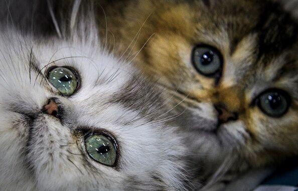 RUSSIA-CAT-EXHIBITION