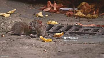 Bionce Foxx - Rats! Chicago Is Number One For Those Pesky Creatures